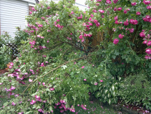Huge William Baffin Rose after rain storm - broken