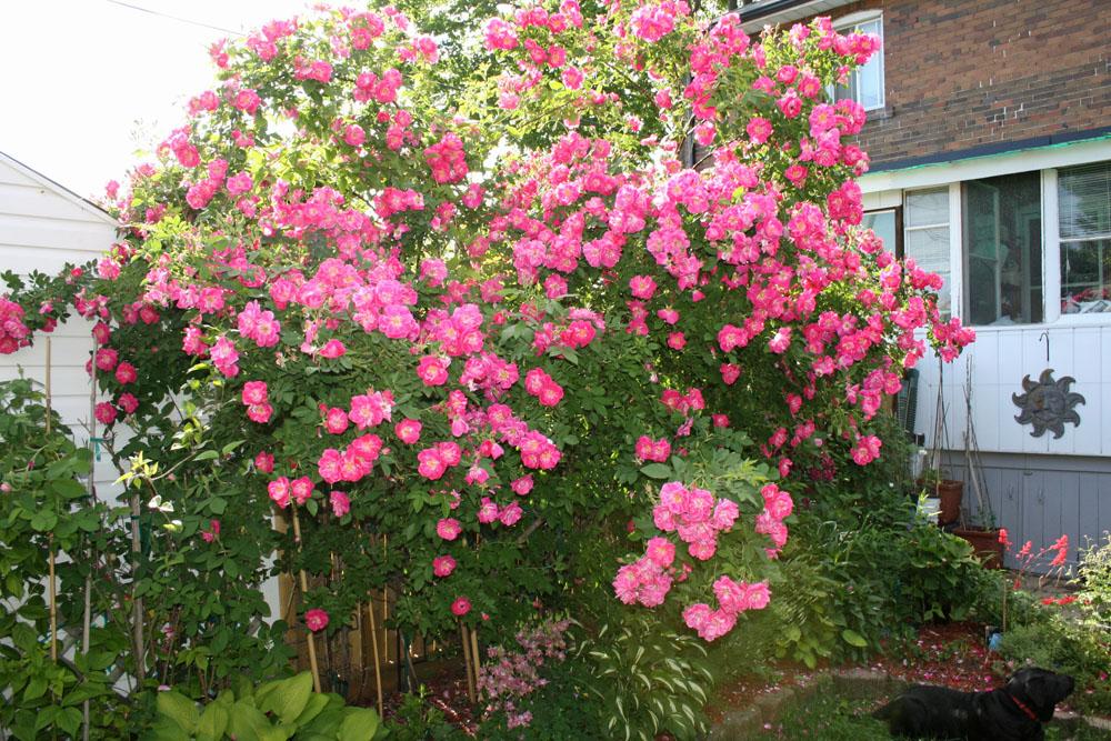 роза плетистая уильям баффин выращивание в спб сделать